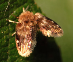 "Owl Midge or Moth Fly (family Psychodidae) • <a style=""font-size:0.8em;"" href=""http://www.flickr.com/photos/57024565@N00/752687621/"" target=""_blank"">View on Flickr</a>"