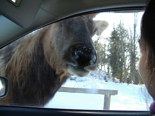 a close encounter of the elk kind