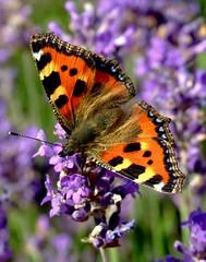 Taking A Rest! (Vanda's Pictures) Tags: flower macro butterfly garden small lavender tortoiseshell vanda aglais urticae nymphalis abigfave impressedbeauty