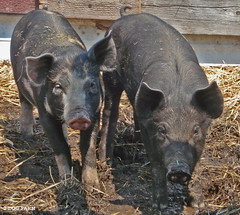 weanier pigs - by 2-Dog-Farm