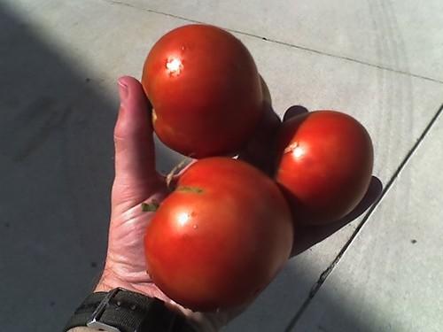 Gift of Tomato