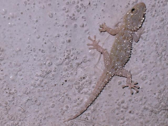 White Gecko