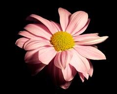 macro 1 (jake1.0) Tags: pink stilllife flower macro daisy