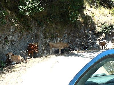 les vaches au frais.jpg