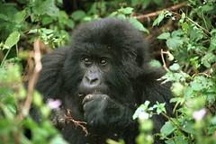 my favourite Mountain Gorilla - klik om naar de berggorilla foto's in DR Congo Virunga NP te gaan