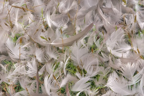 Many Feathers