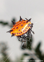 Spinybacked Orbweaver (Gasteracantha cancriformis)