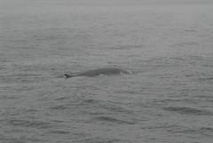 Img0024850 (veryamateurish) Tags: canada whale stlawrenceriver september2006