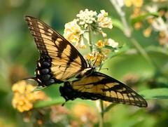 Butterfly  Feeding # 12 (dnldwks) Tags: macro nature butterfly flora butterflies brillianteyejewel buzznbugz