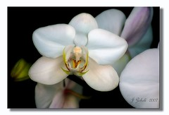 Orchid #4 (~MAMA Z~) Tags: white orchid flower nature flora thebigone brillianteyejewel orchidbarn fllickrslegend