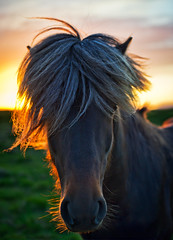 The Horse of Sagas (Stuck in Customs) Tags: world travel sunset horses horse cold nature animal june night digital island photography iceland blog high europe dynamic stuck dusk farm sunny photoblog software midnight processing imaging range hdr tutorial trey sland travelblog customs sagas 2010 grassy northatlantic midatlanticridge ratcliff hdrtutorial stuckincustoms northerniceland arcticsunset treyratcliff photographyblog longsunset stuckincustomscom nikond3s