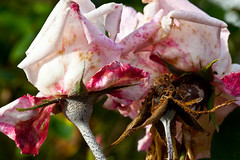 October Roses (jar [o]) Tags: pink roses dailyshoot