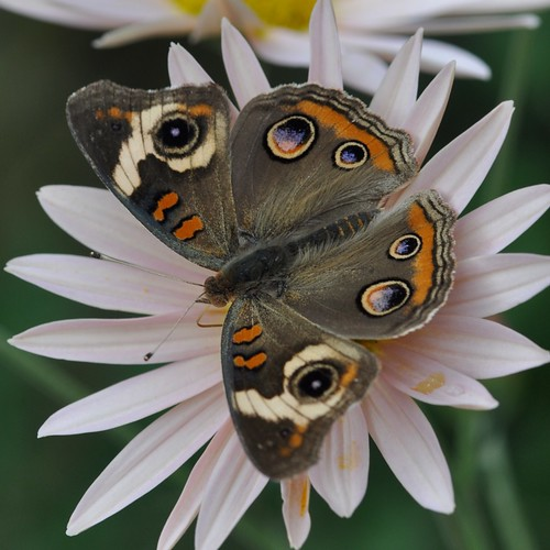 Female Common Buckeye... drinking in the garden... late October, 2010