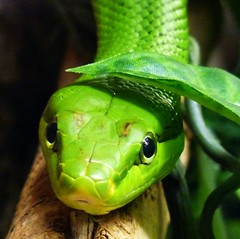 dangerous green (Eisgrfin (very busy)) Tags: verde green nature germany dangerous snake grn schlange gefhrlich serpente mywinners erlebniszoohannover eisgrfin theoriginalgoldseal mygearandmepremium