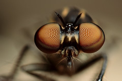 Robber Fly eyes (field stack) (Gustavo Mazzarollo) Tags: macro field horizontal closeup insect photography fly video eyes focus extreme gimp stack size 7d handheld frontal mosca diffraction robber fusca asilidae stacker 5x 4mm valedotaquari zerene pmax holcocephala 580exii geo:country=brazil canonmpe65mmf28 omantidia