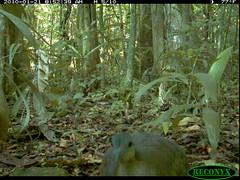 Great Tinamou (siwild) Tags: panamacanal greattinamou tinamusmajor largebirds geo:lon=915816 taxonomy:common=greattinamou sequence:index=15 taxonomy:group=largebirds siwild:plot=70 sequence:length=20 file:name=img1007jpg siwild:trigger=132107 siwild:date=201001210852390 siwild:imageid=1136602 file:path=dpicsrunsticksbcibarbour1219img1007jpg siwild:study=panamacanalmammalsurvey siwild:Rank=0 siwild:studyId=panamammal geo:locality=panama taxonomy:species=tinamusmajor siwild:location=2322 siwild:camDeploy=1802 sequence:id=65085 sequence:key=10 siwild:region=panama BR:batch=sla0620101121083839 siwild:species=128 geo:lat=79832444