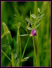 A little bit of nature (Kirsten M Lentoft) Tags: wild flower nature grass corn weed purple naturesfinest blueribbonwinner flickrsbest colorphotoaward aplusphoto momse2600 isawyoufirst diamondclassphotographer flickrdiamond kirstenmlentoft