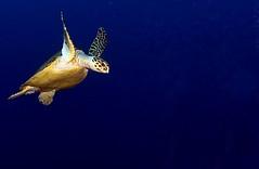 Wheeee!!!! (graspnext) Tags: big turtle redsea momma bigmomma animalkingdomelite superhearts photofaceoffwinner photofaceoffplatinum pfogold mimscompo nov07pfobrackets
