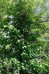 Poison Ivy Tree at Millrace Park in Falconer