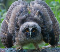 Sarvipöllön poikanen (mattisj) Tags: explore owl longearedowl asiootus parkstock specanimal sarvipöllö anawesomeshot avianexcellence eyeofthephotographer