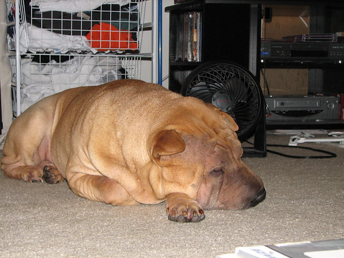 Biggelow Bear - Hot Summer Dog Cooling Off 2