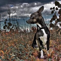 Chihuahua (fesign) Tags: dog chihuahua nature mydog fesign istvankadar anawesomeshot chivava