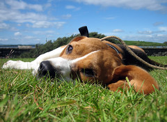Gus (johnmcd) Tags: dog beagle grass sunshine relax tired rest gus oughterard loughcorrib creevepoint baurisheen