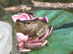 Real frog, fake water lily