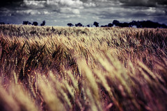 (scottintheway) Tags: sky storm field landscape wind foreboding wheat saskatoon saskatchewan blackribbonbeauty excellentphotographerawards