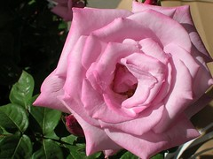Rose from Arizona (Deb and Dave) Tags: arizona flower rose yahoo google flickr photos pics images hillegass googleimages onflickr stumbleupon ontheroadagain outstandingshots fantasticflower mywinners shieldofexcellence yahooimages scenesfromtheroad top20pink debanddave flickrimages