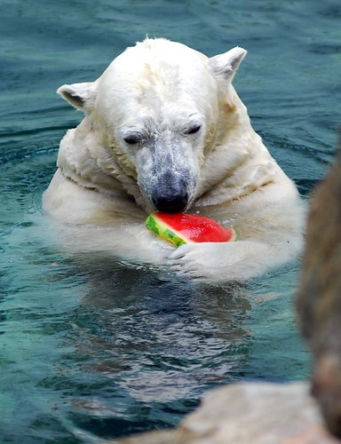 Everland Pola bear loves Water melon by floridapfe.