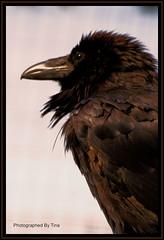 Raven - by TakenByTina