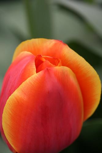 Yellow Edged Orange Tulip