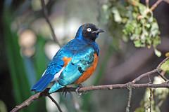 bird (Superb Starling) (Rudi Pauwels) Tags: bird birds naturesfinest superbstarling slottsskogen animalkingdomelite nikond40 impressedbeauty avianexcellence naturewatcher