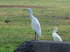 IMG_4015 (Poom!) Tags: birds hawaii oahu kualoaregionalpark