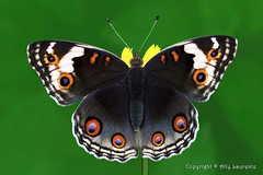 Junonia orithya wallacei ( Female Blue Pansy)