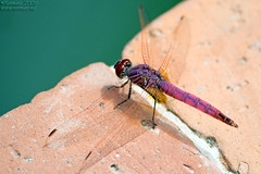 Violet (Renmarc) Tags: italy nature animal canon italia dragonfly violet favorites natura more faves favs animale mondo naturesfinest blueribbonwinner renmarc
