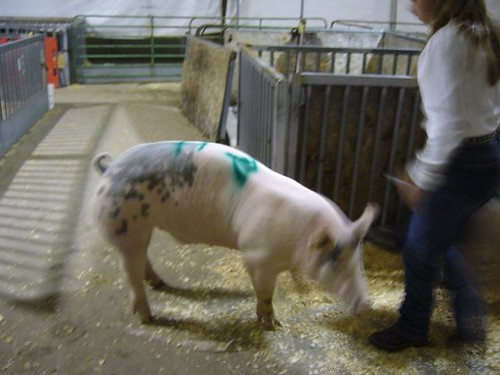 pig being abused by a 4-H-er