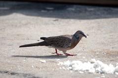 นกเขาใหญ่ Spotted Dove