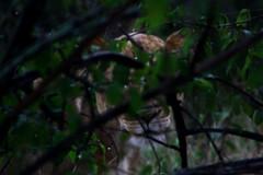 frica do Sul (Fabio Favaro) Tags: africa park animal canon foot do track south lion adventure safari national felino xs animais sul leo kruger aventura trilha 1000d