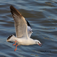Brown-headed Gull (somchai@2008) Tags: mywinners brownheadedgull larusbrunnicephalus thewonderfulworldofbirds