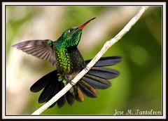 """1-Flash Vs no Flash.Cual de estas dos imagenes le gustan mas?Estas imagenes son para mi amiga Conniee a quien llamo la mujer colibri """"Hummingbird women"""".Zumbador esmeralda ENDEMICO-Chlorostilbon swainsonii-Hispaniolan Emeral. Sierra encantada de Bahoruco. (Cimarrn Mayor !!!7,000.000 DE VISITAS, GRACIAS!!) Tags: naturaleza verde bird fauna dominicanrepublic sierra ave libre republicadominicana oiseaux montaas panta dominicano destellos endmica zumbador endemica bahoruco acaros conflash canoneos7d sierradebahoruco canon7d zumbadoresmeralda chlorostilbonswainsonii aceitillar libertee cimarronmayor residentereproductor telefoto700 endmicadelahispaniola aceitillarsierra4 descuaje"""