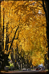 Pathway to heaven (debojit_dhar) Tags: street november autumn orange canada fall colors yellow vancouver canon golden maple bc canon70200f4l xti