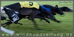 Greyhounds-Bitches-Final - Grote Prijs van Beringen, Belgium