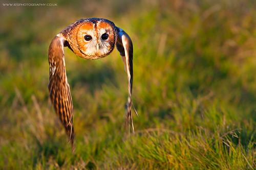 BWC Owl Day - Tawny Owl