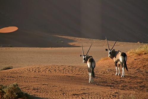 Oryx Duo