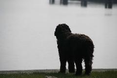 36 weken 332 (Amigrante Nnimo) Tags: dog chien cane fur hond tommy perro hund pelo badbreath peludo elmejoramigodelhombre malaliento muchopelo elmejoramigodestehombre