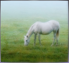 White Horse in Morning Mist (Cliff Michaels) Tags: horse mist green photoshop dawn michaels globalvillage peopleschoice americaamerica 25faves cliffmichaels globalcity superhearts invitedphotosonly gvadminshalloffame itsabeautifulgv tennpenny bbcclibra708 photoscliff