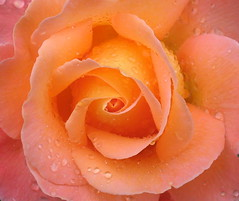 Wet beauty (Miss_M) Tags: orange flower macro nature wet rose flora searchthebest raindrops abigfave flickrdiamond excellentflowers qualitypixels