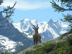 Bouquetin face au Mont-Blanc (jcmorand) Tags: france alpes chamonix montblanc aiguilles bouquetin rouges aiguillesrouges chezerys